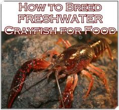 This simple tutorial of how to breed freshwater crayfish for food makes a multi prong approach to self sufficient food system on your homestead easier. Aquaponics Fish, Fish Farming, Aquaponics System, Shrimp Farming, Farming Life, Vertical Farming, Homestead Survival, Survival Food, Survival Skills