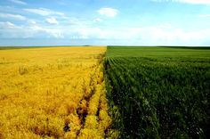 What a beautiful crop!...only a prairie girl would notice/say that.