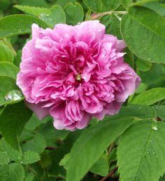 Mökinruusu.  Korkeus 150 cm. Kukkii kesäkuun lopusta alkaen 3-4 vkoa. Kasvupaikka aurinko–puolivarjo, kuiva–tuore, keskiravinteinen, läpäisevä maa.