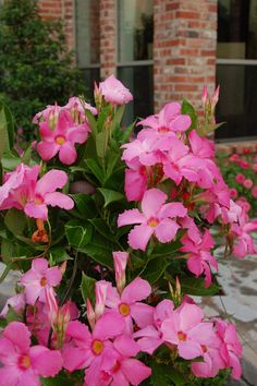 Hope to plant a Pink Mandevilla in my sister's yard this spring? :)