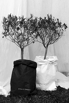 Olive trees in bags
