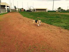 Beagle Mylucie