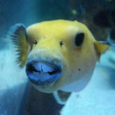 Coolest puffer fish ever