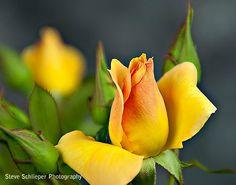 ~~Yellow rose by Steve Schlieper~~
