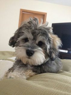 Schnoodle puppy - look at that fluffy face!