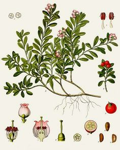 Uva-Ursi (Arctostaphylos uva-ursi)| Remèdes de Grand-Mère