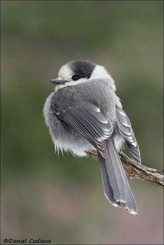 Gray Jay by Daniel Cadieux / birds Pretty Birds, Cute Birds, Small Birds, Little Birds, Colorful Birds, Beautiful Birds, Animals Beautiful, Tiny Bird, Birds 2