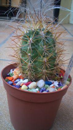 Oreocereus Celcianus : Cactus y Suculentas de Amanecer