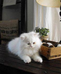 1000 id es sur le th me chatons persans sur pinterest chats persans tasse de th chatons. Black Bedroom Furniture Sets. Home Design Ideas