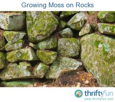 This is a guide about growing moss on rocks. Moss covered rocks lend a sense of age and earthiness to your garden.