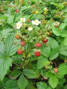 POZIOMKA POSPOLITA Fragaria vesca   [ang: wild strawberry, fr: fraisier des bois, niem: Erdbeere]