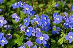 Veronica umbrosa 'Georgia Blue' (Georgia Blue Speedwell)