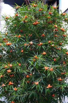 Freycinetia cumingiana (2) by KarlGercens.com, via Flickr