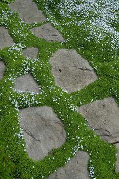 Caminos y senderos son una pieza importante del diseño de cualquier jardín. Tal vez de los que más suelen gustar son los que combinan piedra y plantas cubresuelos. La verdad es que resulta una combinación genial para decorar nuestro jardín. Pero la duda puede asaltarnos a la hora de elegir la planta cubresuelos que vamos a usar. A continuación os mostramos unas cuantas para que podáis escoger la que más os guste. LaIsotoma fluviatilis es una planta muy versátil y resistente. Aguanta…