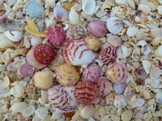 Guide to find seashells Conch Shells Sand Dollars. How and Where To Collect, Beach Comb on Sanibel, Captiva, Southwest Florida Islands Lee County. Shells And Sand, Sea Shells, Captiva Island, Pawleys Island, I Love The Beach, Coastal Art, Beach Chairs, Colour Palettes, Ocean Life
