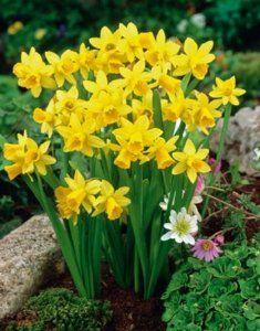 NARCISSUS TÊTE À TÊTE Bulb Flowers, Flowers Nature, Flowers Garden, Yellow Flowers, Spring Flowers, Planting Flowers, Beautiful Flowers, Exotic Flowers, Garden Bulbs