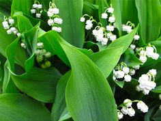 Lilies of the Valley from slowlovelife.com
