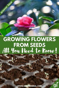 Growing flowers from seeds have many advantages. Not only is it easier and cheaper, but once you see the plants growing there is that feeling of pure satisfaction. Also, it's a natural process. All You Need to Know About Growing Flowers from Seeds | Gardening Tips | Gardening | Gardening For Beginners | Gardening Tips and Tricks | How To Garden | Eco Friendly Gardening Tips | How To Make Your Garden More Eco Friendly | #gardening #gardeningtips #guidetogardening #flower #seed #flowergardening Beginners Gardening, Gardening Tips, Work From Home Tips, Edible Plants, Seed Starting, Growing Flowers, Health And Wellbeing, Permaculture, Garden Projects