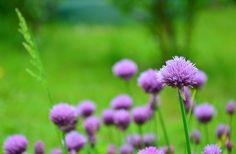 6 conseils pour cultiver et récolter vos aromatiques