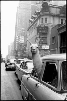 ok its a Llama but I have a piccy of my alpacas to go with it in a London Taxi too! A Llama in Times Square, By Inge Morath // Magnum Photos Alpacas, Magnum Photos, Iconic Photos, Old Photos, Legendary Pictures, Share Photos, Serge Le Lama, Inge Morath, Funny Animals