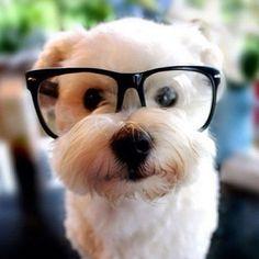 Chien à lunette Petit Chien Blanc, Chien Chat, Petits Chiots, Animaux  Mignons, 626c9e7cb9b2