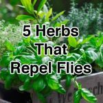 5 Herbs That Repel Flies-more herbs for the chicken coop and area around it