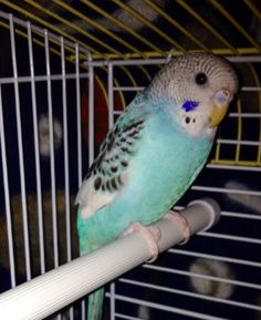 Very sweet young parakeet. Beautiful coloring. Bird comes with brand new cage, toys, training treats, and a bag of food. Great pet, looking for a great home. I am located in nephi but understand that not very many people want to drive all the way out here. So I am willing to meet anywhere between ne