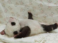 'Yuan Zai' se espreguiça em incubadora no zoológico (Foto: Taipei City Zoo/AFP)                                                                                                                                                      Mais