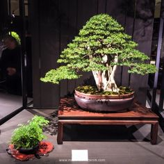 Carl Wooldridge Japanese Yew Bonsai Photo by Naedoko Bonsai