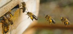 Official Website of Mid-State Beekeepers Association, Educate beekeepers. Honey bee colony management for beginner & advanced beekeeper. Increase public knowledge on honey bee crisis. I Love Bees, Birds And The Bees, Honey Bee Life Cycle, Beekeeping For Beginners, Raising Bees, Bees And Wasps, Bee Art, Bee Happy, Save The Bees