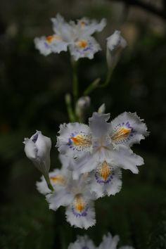 https://flic.kr/p/HLd6EQ | iris japonica | in our garden.