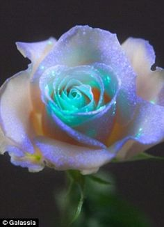 fluorescent rose - A classic reborn with a futuristic glow. Its beauty is so luminous and bright that it cannot be found in nature, but only exists through modern technology. It only grows under black light.