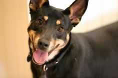 Locket, a one-year-old Australian Shepherd-Cattle dog mix and Roger a four-year-old black and white cat are this week's Pets of the Week #pawschicago #adoptapet #animals #dog #cat