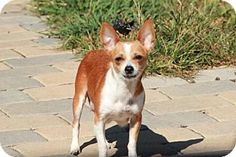 Morganville, NJ - Chihuahua Mix. Meet Darci, a dog for adoption. http://www.adoptapet.com/pet/11674617-morganville-new-jersey-chihuahua-mix