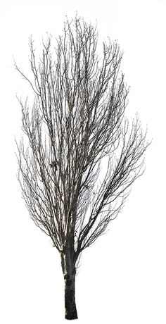 2496 x 4866 Pixels TIFF, transparent background. 24,5 MB file, ready to download. White poplar tree in the winter time. Populus alba En: Abele; Silver poplar, Silverleaf poplar, White poplar; De:Silver-pappel, Weiß-Pappel; Fr: Peuplier argenté; It:Pioppo d'argento; Pt:Choupo branco. Native to Morocco, Iberian Peninsula, central Europe to central Asia.Grows in moist sites, often by watersides, in regions with hot summers and cold to mild winters.