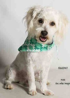 I am described as Male, White Miniature Poodle and Cocker Spaniel about 1 year old. I have been at the shelter since August 21, 2016. I may be available for adoption on Sep 03, 2016 at 12:04PM.     Moreno Valley Animal Services Telephone ‒ (951) 413-3790  https://www.facebook.com/OPCA.Shelter.Network.Alliance/photos/a.840894269324940.1073741943.481296865284684/1116357028445328/?type=3&theater