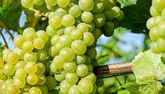 Comer uvas puede salvar tu vida; reducen glucosa y presión arterial