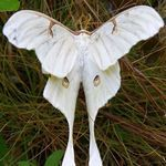 A-Z List of 125 Rare Albino Animals [Pics] Albinism is an genetic disorder characterized by a lack of melanin in the body, the body's color producing pigment. It is extremely rare. Here's a list of 125 rare albino animals. Amazing Animals, Animals Beautiful, Beautiful Bugs, Beautiful Butterflies, Beautiful Pictures, Art Papillon, Rare Albino Animals, Bugs And Insects, White Butterfly