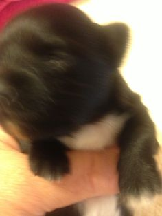 Mi Amor @ 2 Weeks & 3 Days Old 11/12/2015 She is just opening her eyes. Elaine Wade's Chihuahuas, Sebring Florida For More Info Call: Cell:  (517) 745-3652