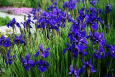 """Iris In The Field"" photography by #Kay Novy. http://kay-novy.artistwebsites.com/featured/iris-in-the-field-kay-novy.html"