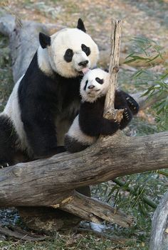 Pandas are symbols of peace. Besides being well known for their black and white coats and cute, cuddly looks, pandas possess many other unique traits that ma. Niedlicher Panda, Panda Bebe, Panda Mignon, Save The Pandas, Baby Animals, Cute Animals, Animal Fun, Wild Animals, Tier Fotos