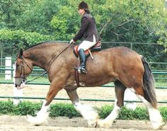 Champion Clydesdale draft horse - hunt seat!