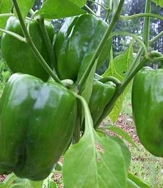 HOW TO GROW BELL PEPPERS Planting Start seeds indoors 8-10 weeks before last spring frostdate. The temperature must be at least 70 degrees F for seed germination, so keep them in a warm area for the best and fastestresults. Start pepper seeds three to a pot, and thin out the weakest seedling. Let the remaining