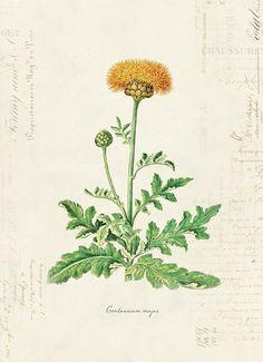 Vintage Botanical Flower Centaurium Majus on French