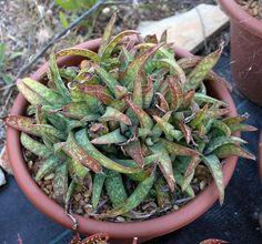 cm pot] This plant was bought from Il Sole Rarità Botaniche as Aloe amudatensis. Green Beans, Miniature, Vegetables, Plants, Food, Essen, Miniatures, Vegetable Recipes, Meals