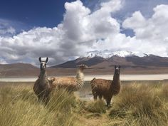 Lamas posing while I was traveling Bolivia || Click on the photo to discover the most incredible destinations with us :)
