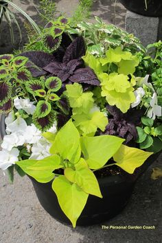 Together coleus, sweet potato vine and impatiens make a spectacular impact, with a contemporary vibe, when placed in a black container.
