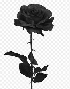 Black Rose                                                                                                                                                                                 More