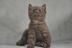 British Shorthair Kitten | Cattery Junando's | The Netherlands