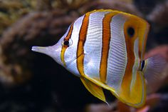 Beaked Butterflyfish by António Fery Antunes on 500px